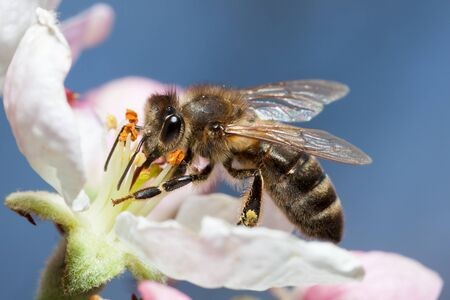 Bee works on a flower, a bee collects honey