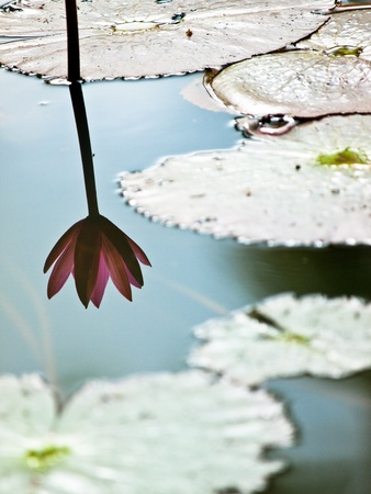 Shadow of lotus photo