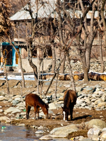 Two horses in Kashmir photo