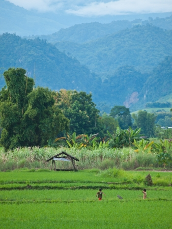 ricefield: Rice field in Laos