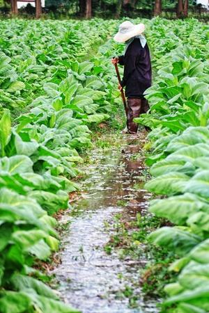 furrow: tobacco field Editorial