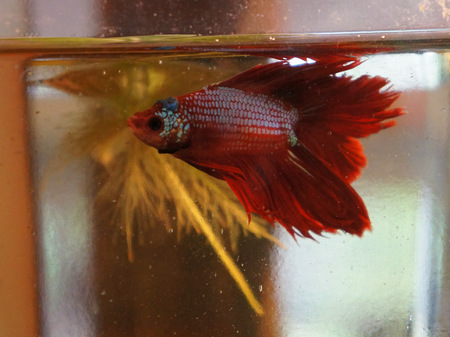 Siamese fighting fish photo