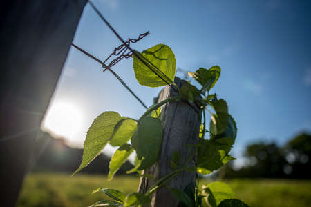 Green leaves on fence post with open sky and sun shining brightly. Reklamní fotografie