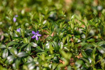 Full bloom purple flower in local park during spring. Reklamní fotografie
