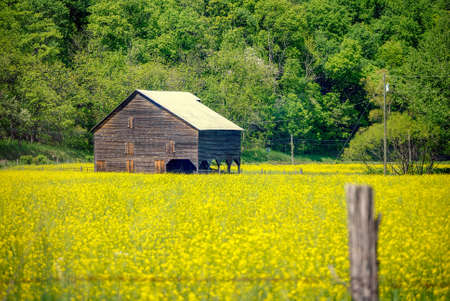 Rustic barn sitting in a field of yellow flowers with a barb wire fence. Фото со стока
