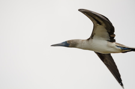 booby: blue-footed booby Stock Photo