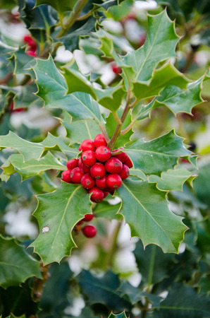 naturaleza: Fruit of a typical Christmas holly acebo