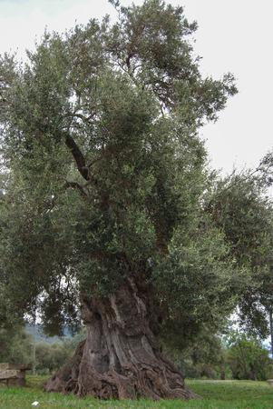 centenarian: centenarian olive tree in a wood