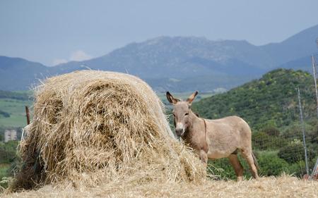 mules: Gray Italian Sardinian Donkey