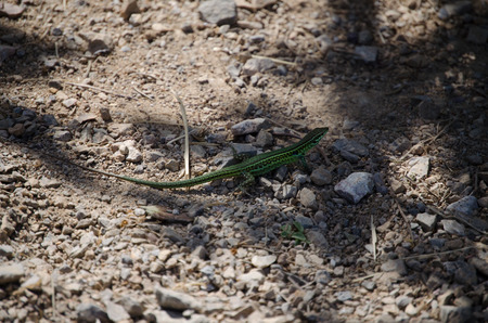 lacertidae: A common wall lizard
