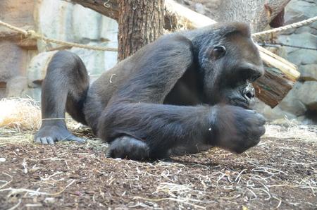 Close-up of a big gorilla
