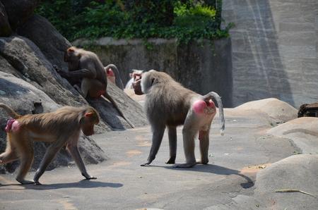 Wild Hamadryas baboon