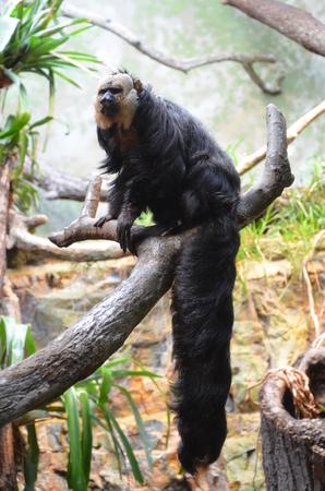 White-faced Saki Monkey Banque d'images - 116285692