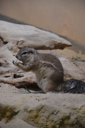 Ground squirrel creeping over sand Imagens