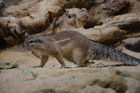 Ground squirrel creeping over sand