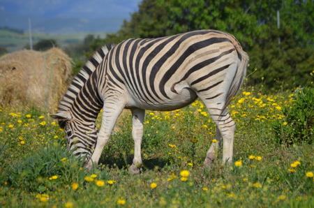 Grevy's zebra (Equus grevyi) 版權商用圖片