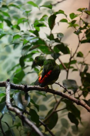 Green Colorful Bird (Vernal Hanging Parrot) sitting on the tree Stock Photo