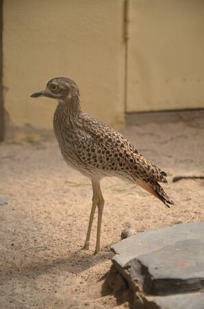 Pacific Golden Plover in the zoo