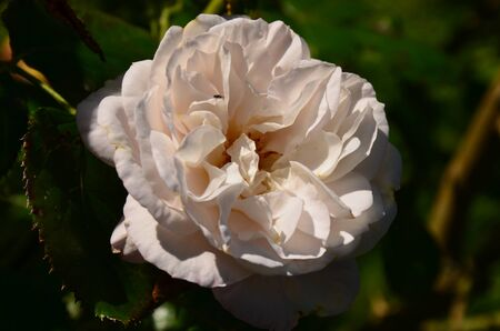 A White rose in the garden