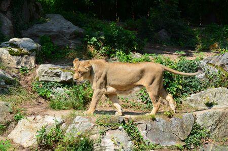 Lion in the zoo of Frankfurt