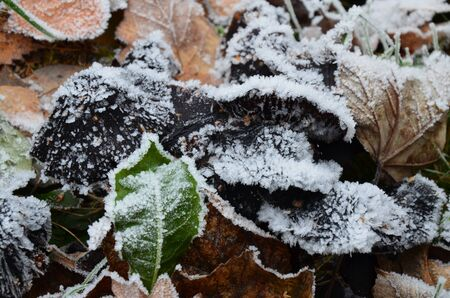 background of autumn leaves in the frost Standard-Bild - 140647573