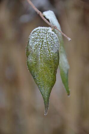 crystals of hoar frost on leaves Standard-Bild - 140647561