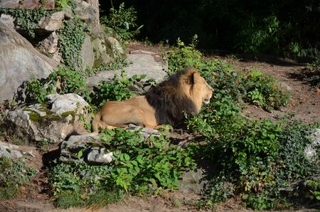 African lion relaxing in the zoo, Frankfurt am Main, Germany