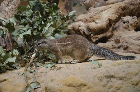 Ground squirrel standing on sand