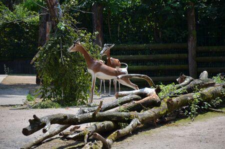 Dama gazelle (Nanger dama) in the zoo Archivio Fotografico