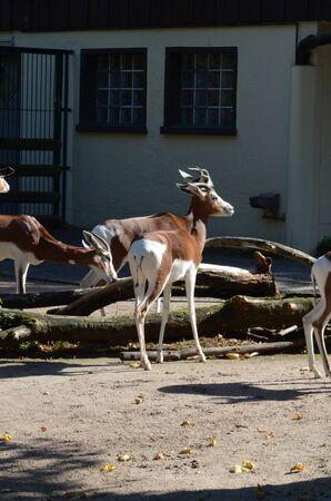 Dama gazelle (Nanger dama) in the Frankfurt zoo Archivio Fotografico