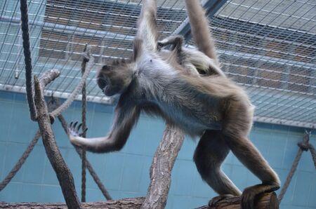 Female Howler Monkey, zoo of Frankfurt