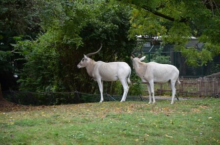 The curved horned antelopes Addax (Addax nasomaculatus)