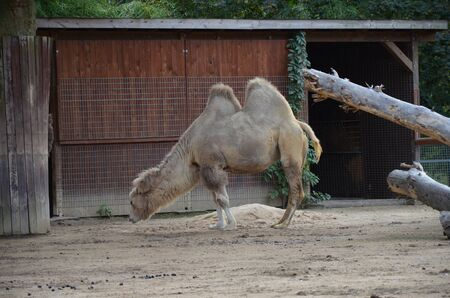 Side view of two humped camel standing in corral under sunlight at zoo