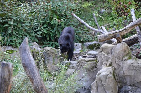 Spectacled bear (Tremarctos ornatus) Banque d'images
