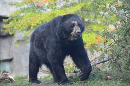 Spectacled bear Tremarctos ornatus Stock Photo