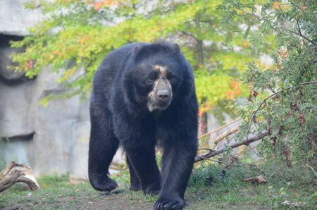 Spectacled bear Tremarctos ornatus