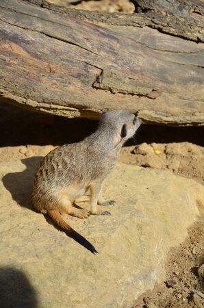 Meerkat (Surikate), zoo of Frankfurt Banque d'images