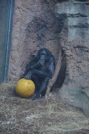 Bonobo (Pan paniscus), zoo of Frankfurt Banque d'images