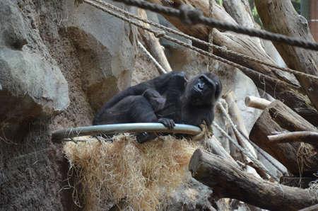 Gorilla - (Gorilla gorilla) - Frankfurt am Main zoo, Germany