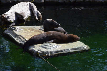 Harbor seal (Phoca vitulina) in the Frankfurt zoo