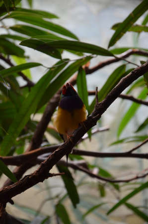 The Gouldian finch (Erythrura gouldiae), also known as the Lady Gouldian finch