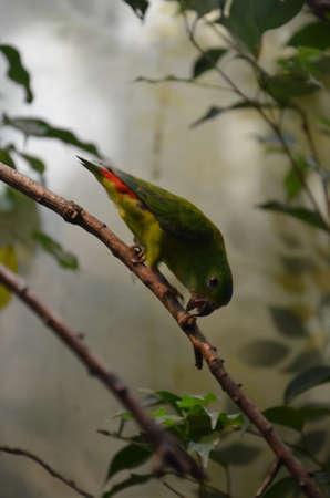 Green Colorful Bird (Vernal Hanging Parrot)