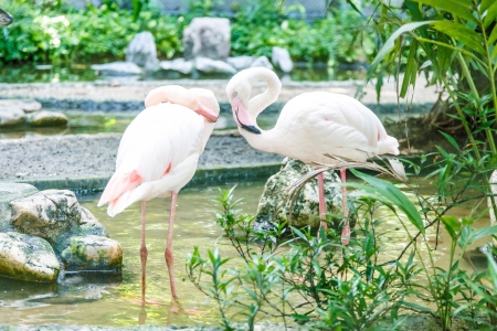 greater: greater flamingo