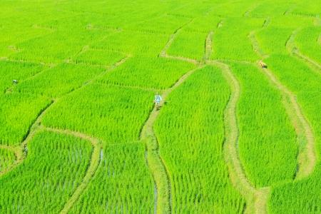 hill tribe rice terraces (maechaem chiangmai) in spring  photo