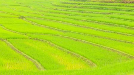 agriculture farm rice  photo