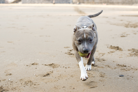 stafford: Stafford shire terrier in the beach.