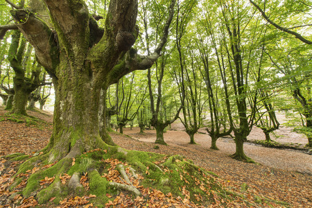 moos: Old beech forest in Basque country, Spain. Stock Photo
