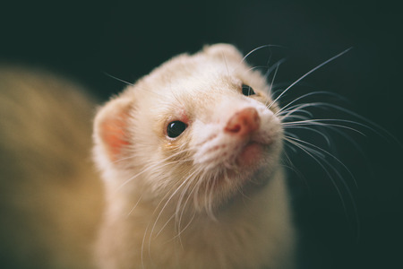 Close-up Image Beautiful Adorable Domestic Ferret Pet Concept Stock Photo