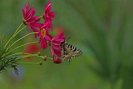 Forest Scallop butterfly / Zerynthia cerisyi