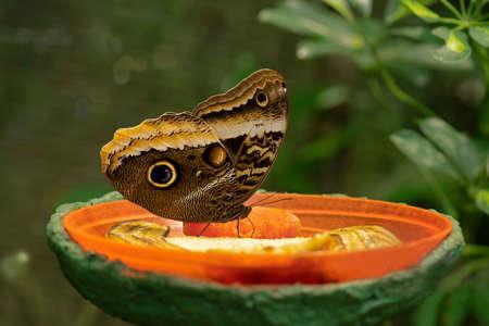 caligo atreus butterfly